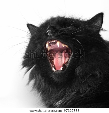 angry black persian cat on white background - stock photo