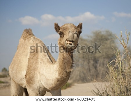 Angry camel - stock photo