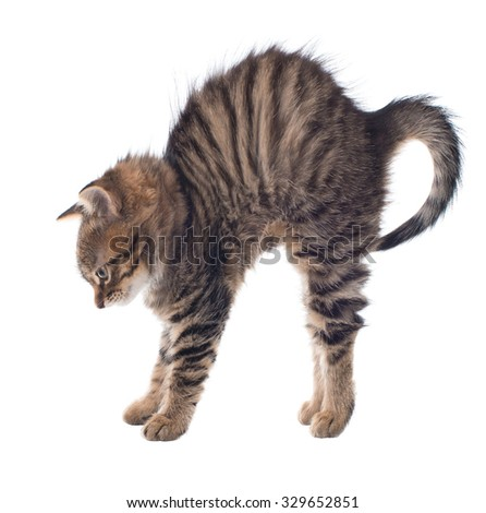 Angry cat arched its back. isolated - stock photo