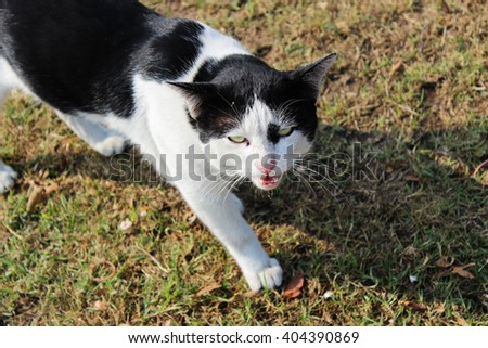 angry cat, black and white cat - stock photo