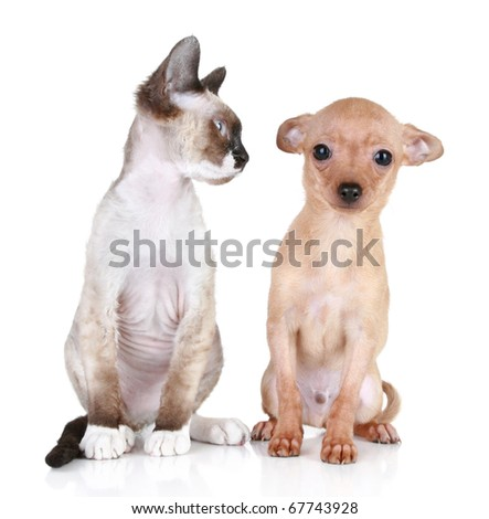 Angry cat, Devon-rex breed with scared toy-terrier puppy - stock photo