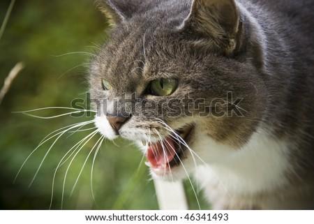 angry cat head closeup - stock photo