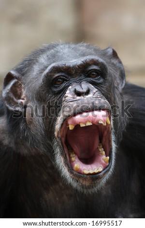 Angry chimpanzee - stock photo