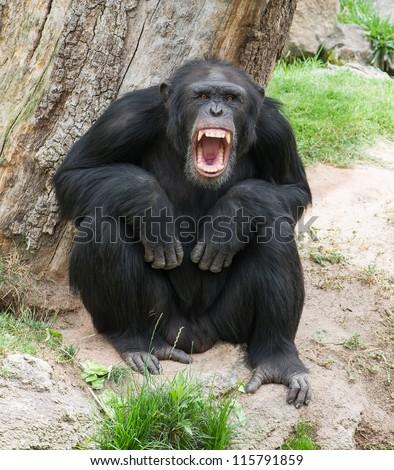 Angry Chimpanzee, Outdoor - stock photo