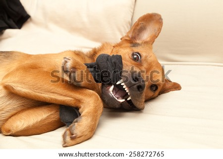 Angry dog chewing a sock - stock photo