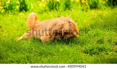 Angry dog sprawling on green grass - stock photo