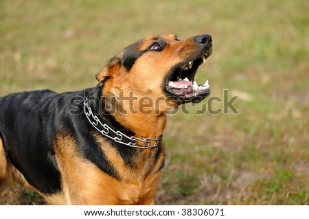 angry dog with bared teeth - stock photo