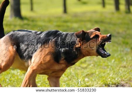 angry dog with bared teeth - stock photo