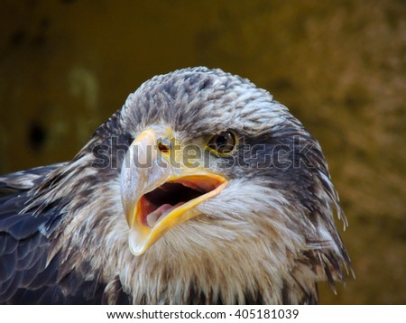 Angry Eagle with his opened beak and wants to bite, close-up of the head and upper body