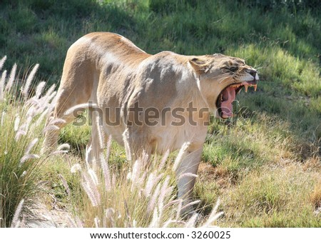 Angry female lion showing her teeth