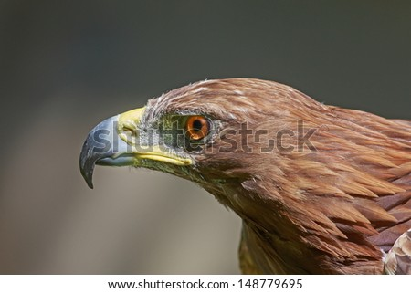 angry golden eagle