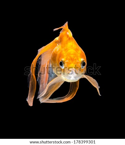 Angry Goldfish on a black background - stock photo