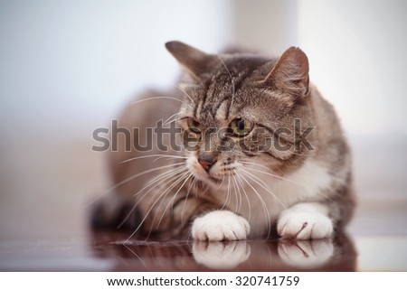 Angry gray striped domestic cat with green eyes.