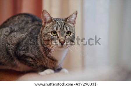 Angry gray striped domestic cat with white moustaches