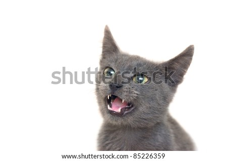 Angry grey cat with yellow-green eyes and opened mouth - stock photo