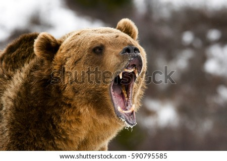 Angry Bear Stock Images, Royalty-Free Images & Vectors ...