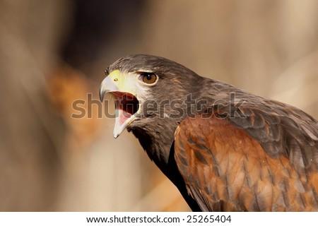Angry Harris Hawk. - stock photo