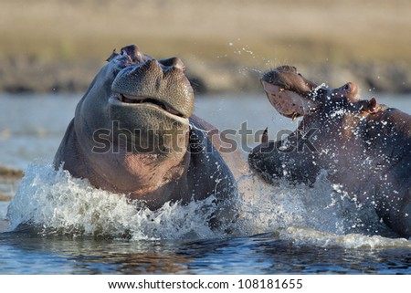 Angry Hippos fighting - stock photo