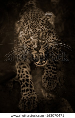 Angry leopard attacking/Angry leopard/Safari park - Egypt - stock photo