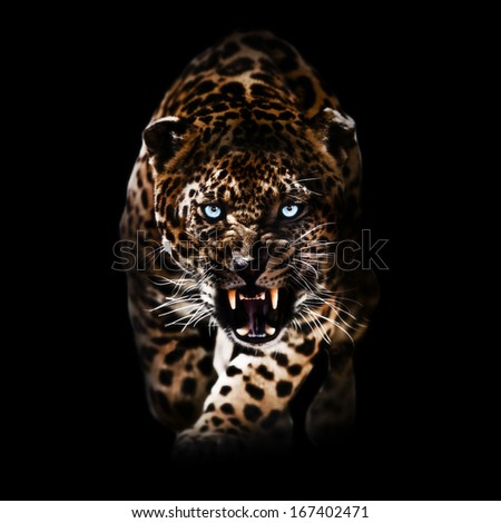 Angry Leopard piercing through the night - stock photo