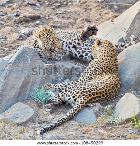 Angry Leopard spotted cat striking