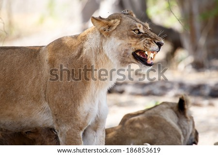 Angry Lion Growl at Okavango Delta - Moremi National Park in Botswana - stock photo