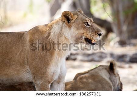 Angry Lion Growl at Okavango Delta - Moremi National Park in Botswana - stock photo