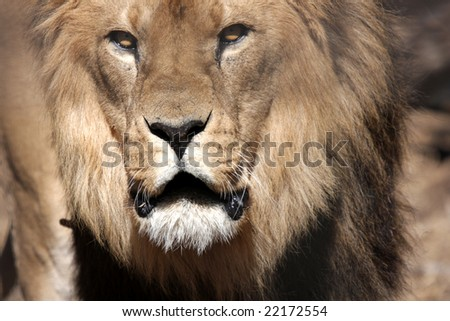 Angry lion (look at his eyes)