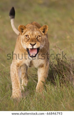 Angry lioness charging - stock photo