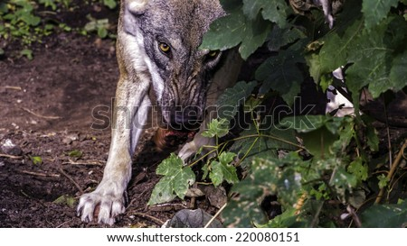 Angry looking Female Scandinavian wolf (Canis lupus lupus) with summer coat staring at the camera while shaking a piece of meat - stock photo