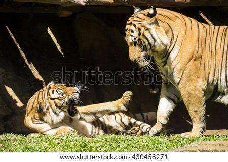 Angry malayan tiger fighting, big wild cat black stripes. - stock photo
