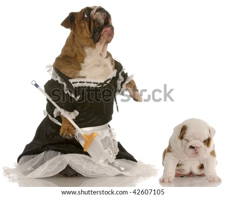 angry mother - english bulldog wearing maid dress standing up sweeping floor beside puppy with smug expression - stock photo