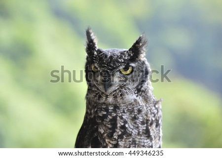 angry owl - stock photo