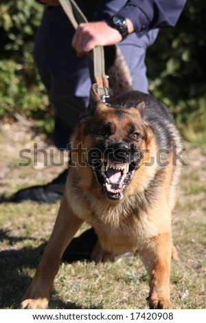 Angry police dog baring it's teeth and being restrained by a policeman - stock photo