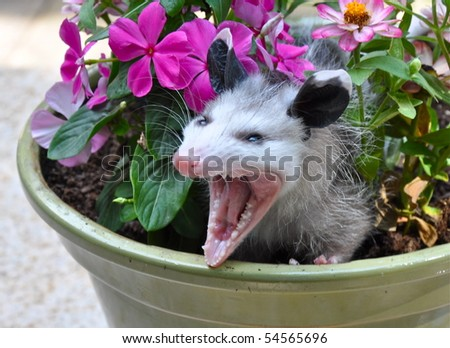 Angry possum in flower pot - stock photo