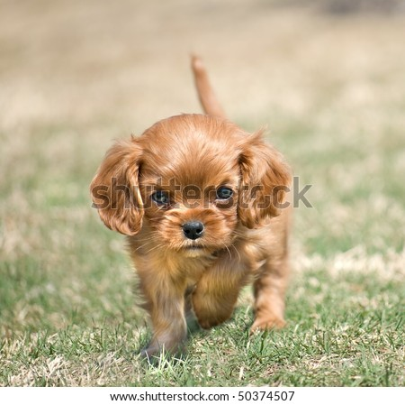 Angry Puppy (Cavalier King Charles Spaniel With Ruby Coloration) - stock photo