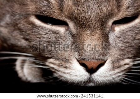 Angry purebred gray cat portrait. - stock photo