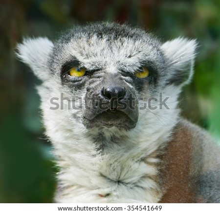 Angry Ring-Tailed Lemur - stock photo