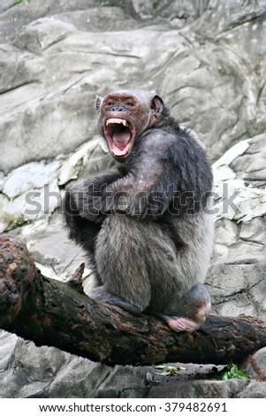 Angry Simpanse. The Simpanse(Pan troglodytes)  - stock photo