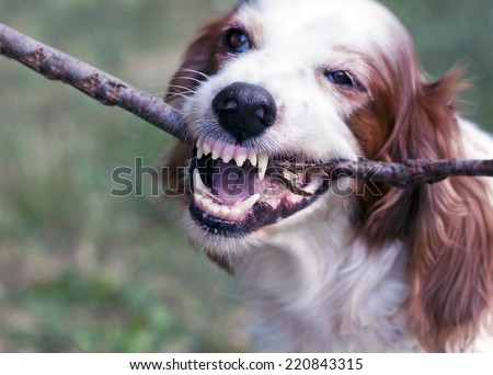 Angry white dog biting a stick  - stock photo