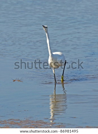 angry white heron and a couple of dragonflies in the marsh