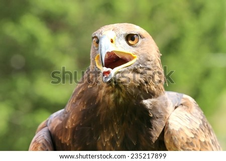 angry wild Eagle with open beak and tongue out - stock photo