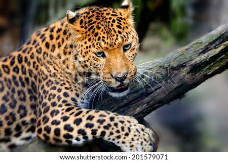 Angry wild leopard sitting on branch - stock photo