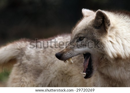 Angry Wolf showing his teeth. - stock photo
