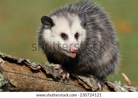 angry young possum - stock photo