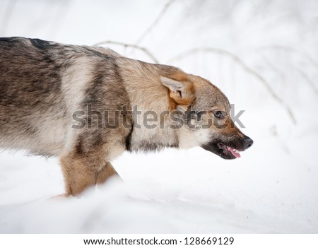 angry young wolf - stock photo