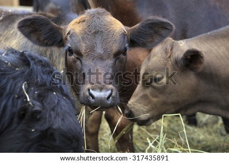 Angus cattle or Aberdeen Angus is a breed of cattle - stock photo