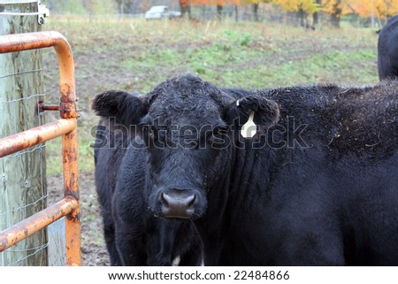 Angus cow - stock photo