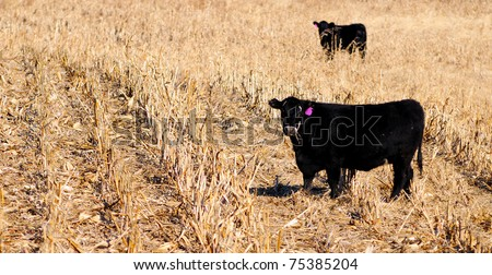 Angus cow grazing in the corn field - stock photo