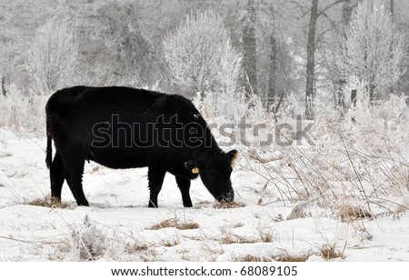 Angus cow grazing in the snow and fog on a winter day - stock photo